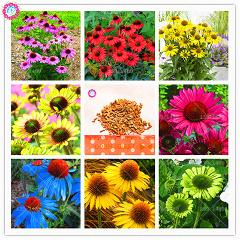 50Pcs Echinacea beautiful chrysanthemum Plant flower planting potted for home garden supplies Flower Pot