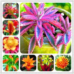 BONSAI 200pcs Bromeliad Cactus Rare Colorful Flower Courtyard Succulent Flower Pot Planting For Home Garden Supplies