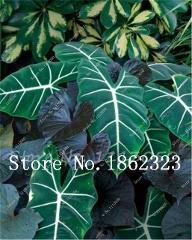 100 Pcs Potted Plant Thailand Caladium Collection,DIY Home Garden & Bonsai Plant Potted Balcony Ornamental Plant